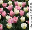 Tulips in a spring garden - stock photo