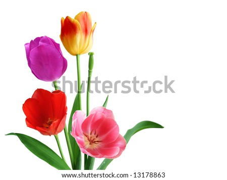 Tulips in different colors isolated on white background - stock photo
