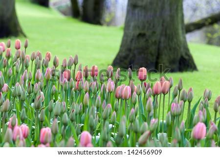 Tulips in garden of Keukenhof, Am Lisse, Netherlands - stock photo