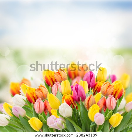 tulips in garden on  bokeh background with grass and sky  - stock photo