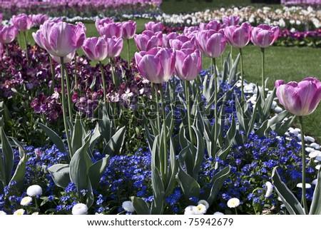 Tulips in London park - stock photo
