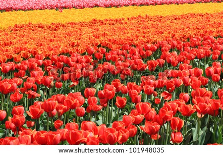 Tulips in mixed colors in the sun in spring