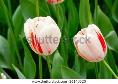 tulips in spring. - stock photo