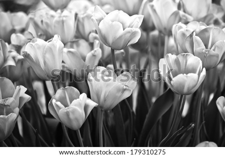 Tulips in spring close up black and white - stock photo