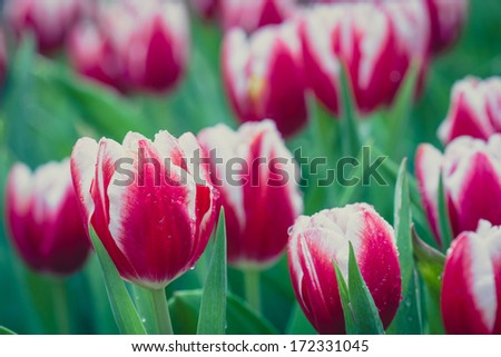tulips in spring sun,Colorful tulips in the park,beautiful tulips field in spring time - stock photo