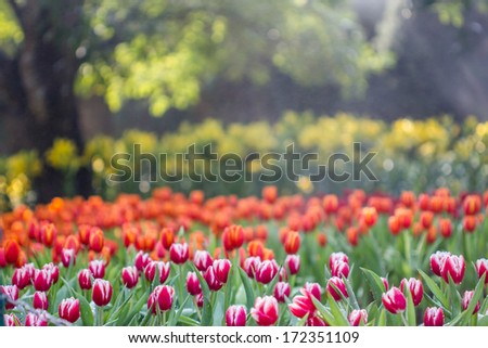 tulips in spring sun,Colorful tulips in the park,beautiful tulips field in spring time