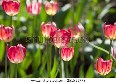 tulips in spring sunny day - stock photo
