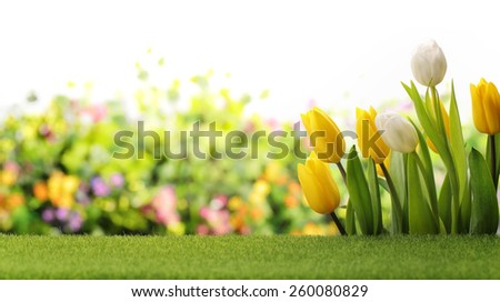 Tulips in the field - stock photo