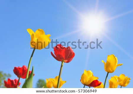 Tulips in the sunny day - stock photo