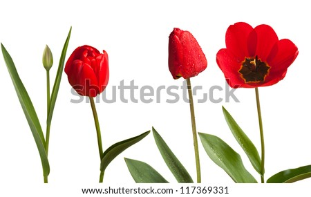 tulips isolated - stock photo