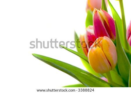 Tulips Isolated on White - stock photo