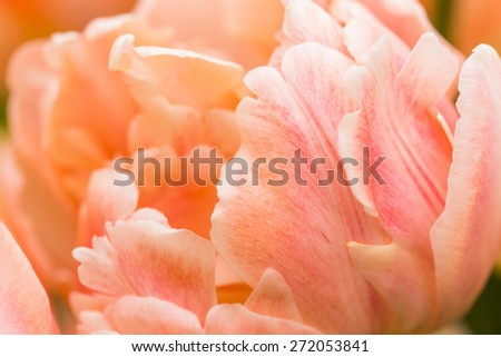 Tulips of salmon color on a bed in park. Close up, Shallow DOF. - stock photo