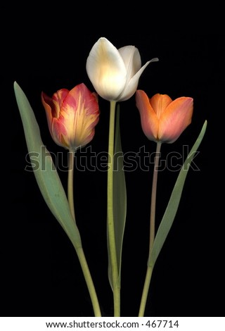 tulips on black background - stock photo