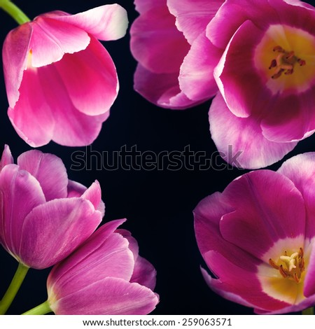 tulips on black selective focus with shallow depth of field - stock photo