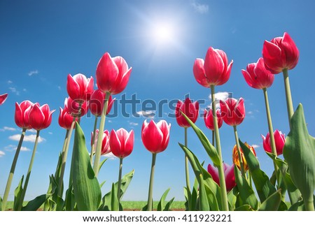 Tulips on blue sky. Composition of nature. - stock photo