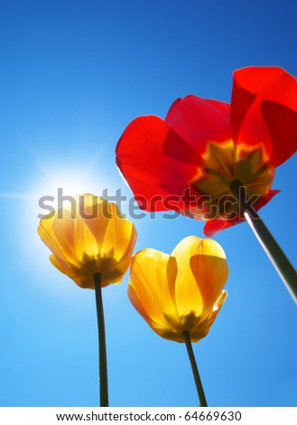 Tulips on sky background. Composition of nature. - stock photo