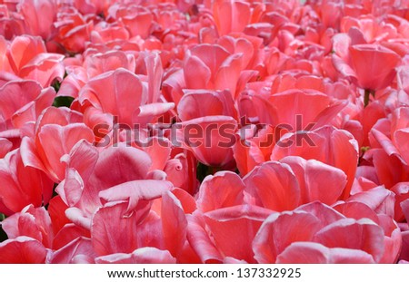 Tulips petals - stock photo