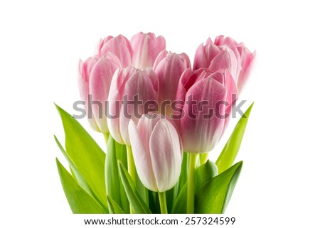 Tulips. pink flowers isolated on a white background - stock photo