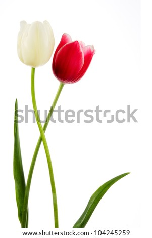 Tulips. Red and white flower isolated on white - stock photo