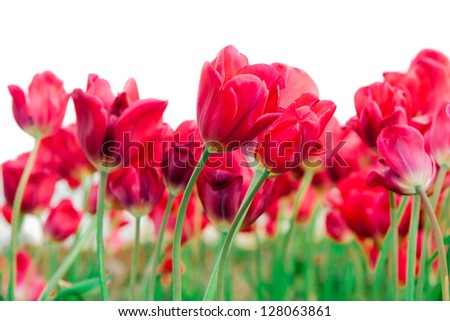Tulips (scientific name: Tulipa) - stock photo
