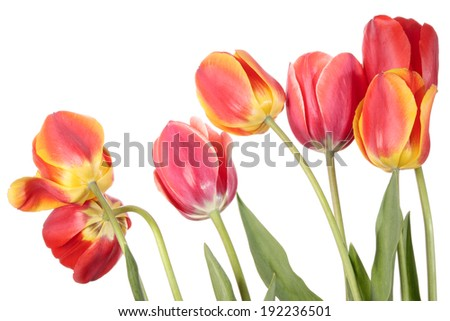 Tulips. Seven of flowers isolated on a white background