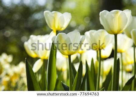 Tulips, Spring in garden - stock photo