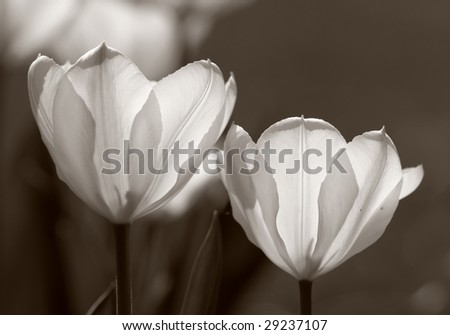 Tulips (very detailed) in black and white - stock photo