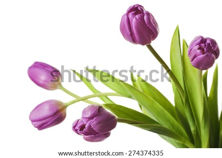 Tulips Violet Purple Tulip Flowers Isolated on White Background - stock photo