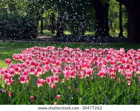 Tulips watering in a park - stock photo