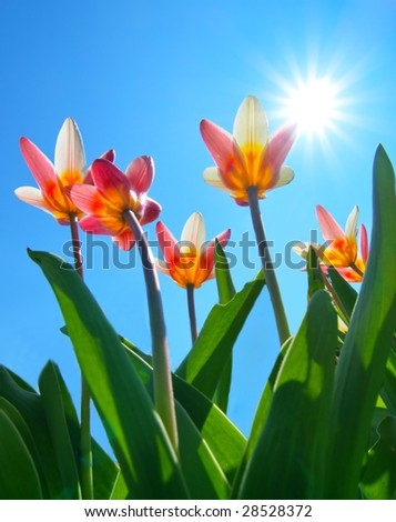 tulips with blue sky and starburst sun