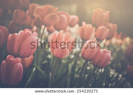 Tulips with Instagram Retro Filter with Sunlight - stock photo