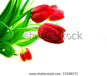Tulips with shallow DOF and copy space