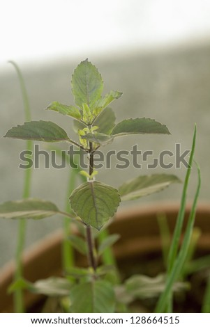 Tulsi,holi basil (Ocimum tenuiflorum) is an aromatic plant in the family Lamiaceae.