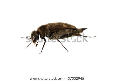 Tumbling flower beetle isolated on white. - stock photo