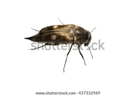 Tumbling flower beetle isolated on white.