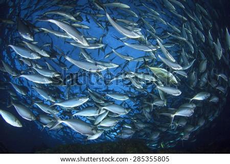 Tuna fish - stock photo