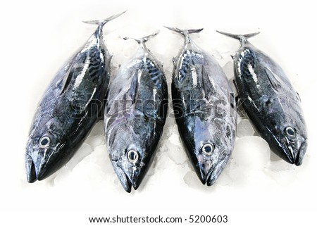 Tuna Fish on Ice isolated on white background - stock photo