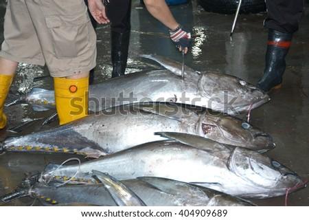 Tuna quality sampling at penang port, Malaysia ( soft focus at full resolution ) - stock photo