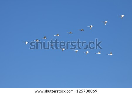 Tundra Swans ( Cygnus columbianus ) fly in V- formation.This swan is similar to the Whistling Swan and Trumpeter Swan. - stock photo