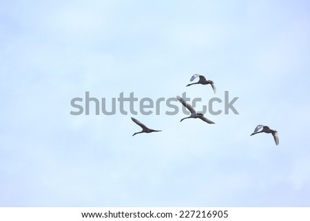 Tundra Swans flying in a clear blue winter sky. - stock photo