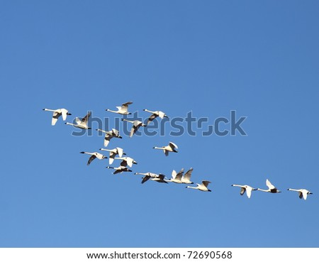 Tundra Swans in Flight - stock photo
