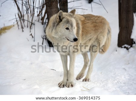 Tundra wolf The tundra wolf is a subspecies of the common wolf, who lives in Russia. Habitat the tundra wolf is a zone of tundra and forest tundra of the European part and Siberia.
