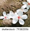 tung tree flowers - stock photo