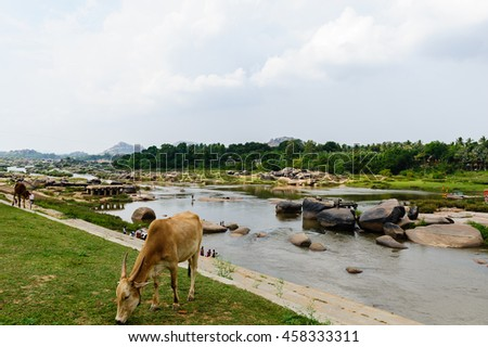 Tungabhadra river and cow eating grass, Hampi, India.