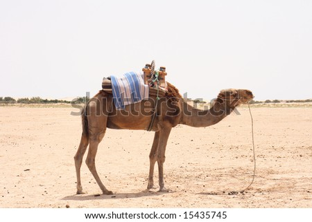 tunisia camels - stock photo