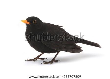 turdus merula - blackbird isolated on white background - stock photo