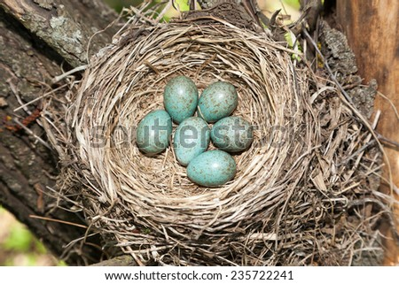 Turdus pilaris, Fieldfare.  Nest of a bird in the nature.