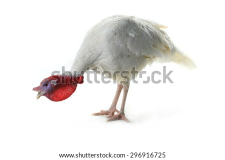 Turkey  isolated on a white background. Studio