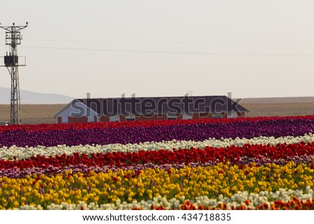 TURKEY KONYA ; APRIL 18, 2016, Konya tulip gardens