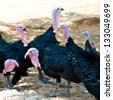 turkey strutting on the farm. - stock photo
